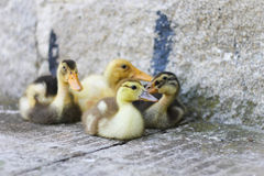 Pequeños patos Foto de archivo