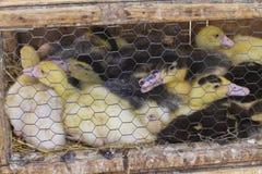 Pequeños patos en una jaula, para la venta en un mercado Imagen de archivo libre de regalías