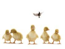 Pequeños patos que sueña con el vuelo, Foto de archivo libre de regalías