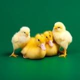 Pequeños patos y pollos Foto de archivo libre de regalías