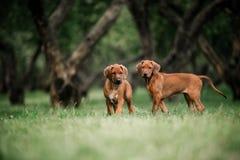 Pequeños perritos adorables de Rhodesian Ridgeback que juegan junto en jardín foto de archivo libre de regalías