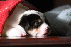 Pequeños perritos divertidos lindos del terrier de Russell del enchufe que juegan con una caja de cartón Imagen de archivo