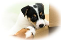 Pequeños perritos divertidos lindos del terrier de Russell del enchufe que juegan con una caja de cartón Imagen de archivo libre de regalías