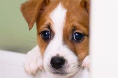 Pequeños perritos divertidos lindos del terrier de Russell del enchufe que juegan con una caja de cartón Fotografía de archivo
