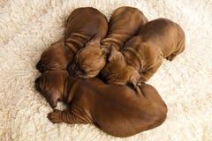 Pequeños perritos lindos Fotos de archivo libres de regalías