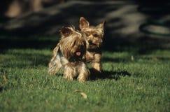 Pequeños perros Foto de archivo