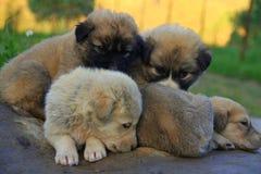 Pequeños perros Fotos de archivo