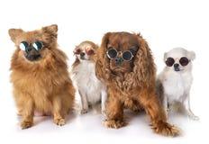 Pequeños perros en estudio Fotografía de archivo libre de regalías