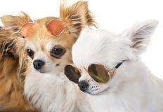 Pequeños perros en estudio Foto de archivo