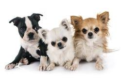 Pequeños perros en estudio imagen de archivo libre de regalías