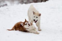 Pequeños perros esquimales que juegan en el invierno Foto de archivo libre de regalías
