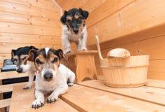 Pequeños perros lindos en la sauna - terrier de Russell de tres enchufes fotos de archivo libres de regalías