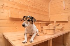 Pequeños perros lindos en la sauna - terrier lindo de Russell del enchufe foto de archivo