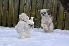 Pequeños perros que juegan en nieve Imágenes de archivo libres de regalías