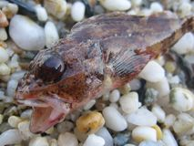 Pequeños pescados agresivos en los productos de alta calidad de las impresiones del lanzamiento macro de la arena fotografía de archivo
