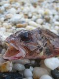 Pequeños pescados agresivos en los productos de alta calidad de las impresiones del lanzamiento macro de la arena foto de archivo libre de regalías