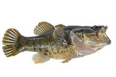 Pequeños pescados con el aislante abierto de la boca Fotografía de archivo libre de regalías