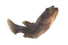 pequeños pescados con el aislante abierto de la boca Imágenes de archivo libres de regalías