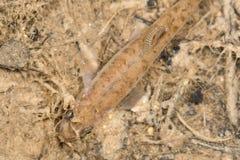 Pequeños pescados con el parásito atado en el pequeño tributario al río sistema de pesos americano imagen de archivo