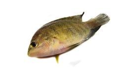 Pequeños pescados de la Tilapia Fotos de archivo
