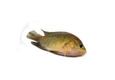 Pequeños pescados de la Tilapia Imagen de archivo libre de regalías
