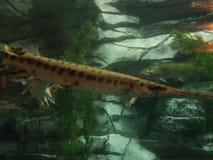 Pequeños pescados del lepisosteus en el tanque del acuario fotos de archivo libres de regalías