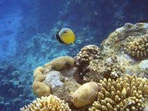 Pequeños pescados del Mar Rojo Fotos de archivo libres de regalías