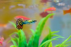 Pequeños pescados en acuario o acuario, pescados del oro, guppy y f roja Imagen de archivo
