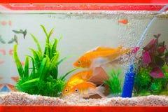 Pequeños pescados en acuario o acuario, pescados del oro, guppy y f roja Imagenes de archivo