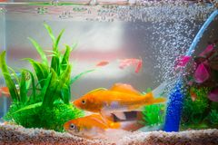 Pequeños pescados en acuario o acuario, pescados del oro, guppy y f roja Fotos de archivo