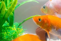 Pequeños pescados en acuario o acuario, pescados del oro, guppy y f roja Fotos de archivo libres de regalías