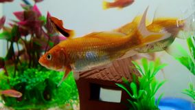 Pequeños pescados en el acuario o acuario, pescados del oro, guppy y pescados rojos, carpa de lujo con la planta verde, vida suba metrajes