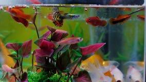 Pequeños pescados en el acuario o acuario, pescados del oro, guppy y pescados rojos, carpa de lujo con la planta verde, vida suba almacen de video