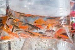 Pequeños pescados ornamentales en una bolsa de plástico Imagen de archivo