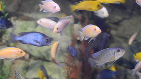 Pequeños pescados tropicales multicolores brillantes en un acuario almacen de video