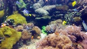 Pequeños pescados y otros del payaso en el cierre coralino almacen de metraje de vídeo