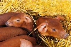 Pequeños piggys rojos Foto de archivo