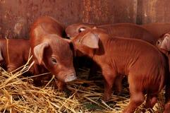 Pequeños piggys rojos Fotografía de archivo