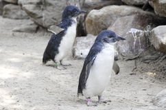 Pequeños pingüinos azules, menor de Eudyptula en cautiverio Imagen de archivo libre de regalías