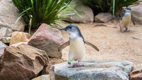 Pequeños pingüinos, parque de la fauna de Featherdale, NSW, Australia imágenes de archivo libres de regalías