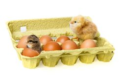 Pequeños pollos Imagen de archivo libre de regalías