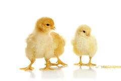 Pequeños pollos Foto de archivo