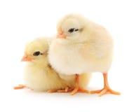 Pequeños pollos Imagen de archivo
