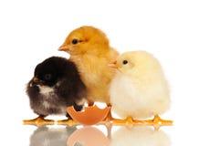 Pequeños pollos Fotos de archivo