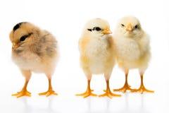 3 pequeños pollos Imágenes de archivo libres de regalías