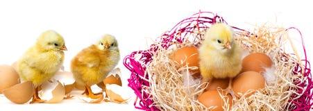 Pequeños pollos Imágenes de archivo libres de regalías