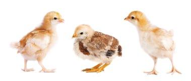 Pequeños pollos aislados en el fondo blanco Collage del polluelo fotos de archivo libres de regalías