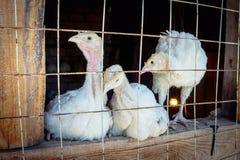 Pequeños pollos blancos del pavo Imagen de archivo
