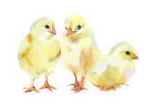 Pequeños pollos de la acuarela Imágenes de archivo libres de regalías