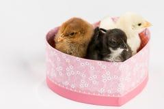 Pequeños pollos del bebé en la caja en forma de corazón sobre el backgro blanco Fotos de archivo libres de regalías